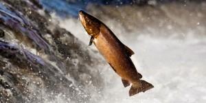 hidup ikan salmon
